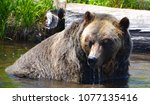 the grizzly bear also known as...   Shutterstock . vector #1077135416