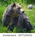 the grizzly bear also known as...   Shutterstock . vector #1077135422