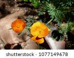 california poppies in spring... | Shutterstock . vector #1077149678