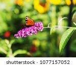 peacock butterfly  aglais io ...   Shutterstock . vector #1077157052