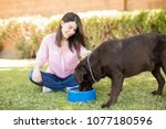 handsome chocolate labrador... | Shutterstock . vector #1077180596