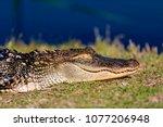 5 foot alligator sleeping/sunbathing on shore near gator lake in St. Andrews State Park