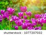 tulips in the morning sun | Shutterstock . vector #1077207032