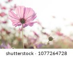 beautiful purple cosmos flower... | Shutterstock . vector #1077264728