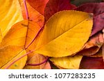 autumn motifs with leaves  ... | Shutterstock . vector #1077283235