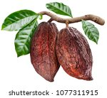 cocoa pods hanging from the... | Shutterstock . vector #1077311915