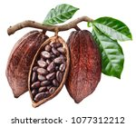 open cocoa pod with cocoa seeds ... | Shutterstock . vector #1077312212