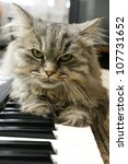 Stock photo cat pianist 107731652