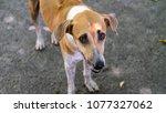 thai dog in temple | Shutterstock . vector #1077327062