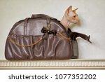 sphinx cat looks out of pet bag ... | Shutterstock . vector #1077352202