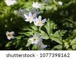 anemone nemorosa flowers in the ... | Shutterstock . vector #1077398162