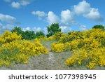 footpath through flowering...   Shutterstock . vector #1077398945