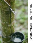 Small photo of White latex dripping from the rubber tree into a wooden bowl.