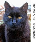 Small photo of Portrait of a mangy black garden cat.