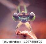 Damselfly Portrait Zygoptera...