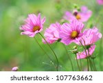 Close Up Of Pink Cosmos Flower