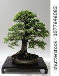 Bonsai Tree Of Chinese Elm ...