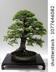 Bonsai Tree Of Chinese Elm ...