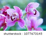 purple orchid flower on blur... | Shutterstock . vector #1077673145