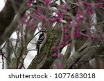 A Downy Woodpecker With A Boke...