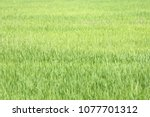background of a green grass.... | Shutterstock . vector #1077701312