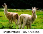Cute Llama Family In The Field...
