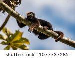 brown howler monkey  alouatta... | Shutterstock . vector #1077737285