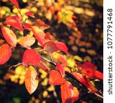 colorful autumn leaves. toned... | Shutterstock . vector #1077791468