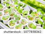 young green sprout in white...   Shutterstock . vector #1077858362