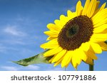 Beautiful Sunflower Against The Blue Sky - stock photo