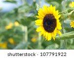 Beautiful Sunflower on the field - stock photo