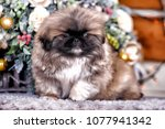cute little pekingese puppy | Shutterstock . vector #1077941342