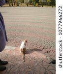 Small photo of The cat walks along the sidewalk along with its owners.
