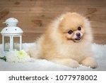 Stock photo puppy german spitz red puppy dog sitting in the wooden walls elite purebred puppy 1077978002
