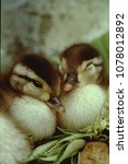 Small photo of Wood Duck chicks in nest (Aix Sponsa)