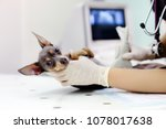 dog having ultrasound scan in... | Shutterstock . vector #1078017638