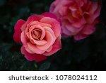 A Velvet Flower