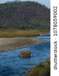 Small photo of Indian elephant crossing river and bathing