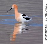 Small photo of Reflection of an American Avocet