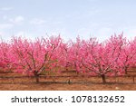 Small photo of Blooming spring orchard. Blossom branches of peach trees with fluffy pink flowers. Springtime garden.