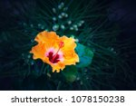 bright yellow flower of... | Shutterstock . vector #1078150238