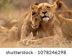 Stock photo predator s love lioness and cub in the kruger np south africa 1078246298