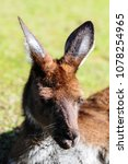 Small photo of Kangaroo, Close-Up in western Australia, Pert zoo