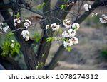 Small photo of A large apricot tree in which blooms bloom