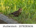 Female Blackbird In Spring Time