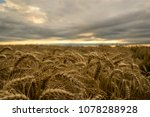 sunset and wheat field is a... | Shutterstock . vector #1078288928