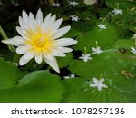 nymphaea lotus  water lily it... | Shutterstock . vector #1078297136