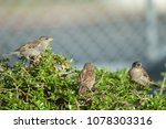 house sparrows  passer... | Shutterstock . vector #1078303316