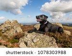 Black Labrador Resting On The...
