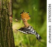 the hoopoe is feeding its chick.... | Shutterstock . vector #1078330286